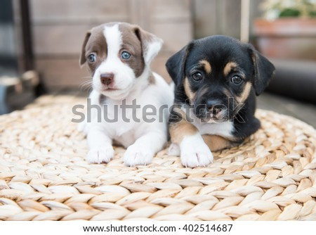 Two Small Puppies Playing on Woven Ottoman Outside on Wooden Deck - stock photo