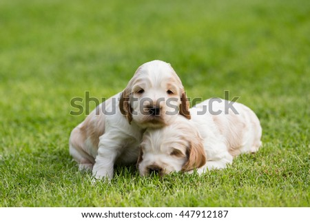 two small purebred English Cocker Spaniel puppy, 24 days old playing outdoor on green grass. First time without mother - stock photo