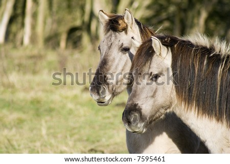 Two small semi-wild Polish Konik horses - stock photo