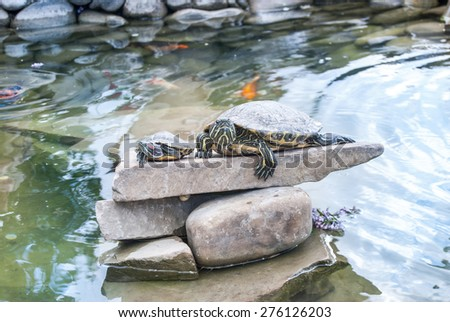 two small turtles lying on rocks and basking in the sun - stock photo