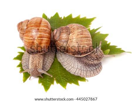 two snails crawling on the grape leaves white background - stock photo