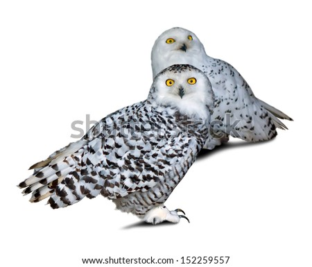 Two snowy Owls (Nyctea scandiaca) over white background - stock photo