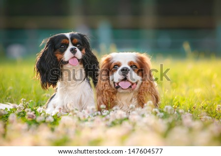 Two spaniels on a summer outing - stock photo