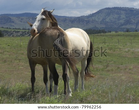 Two Spanish Mustang Mares huddled together with mountain background - stock photo