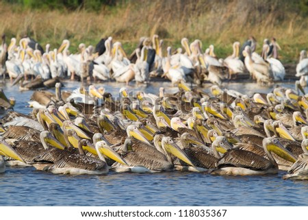 Two species of pelicans fishing together in the Caprivi, Namibia - stock photo