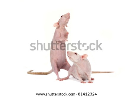 Two sphinx rats in studio on a white background - stock photo