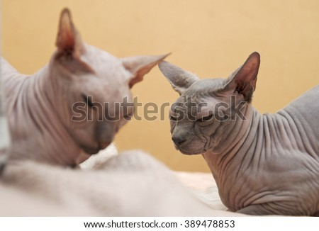 Two sphinxes  light and gray colors asleep on the bed. Canadian and Don Sphinxes lie on the bed, the photo in the profile. - stock photo