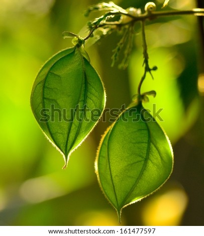 Two splendid green fruit capsules of physalis plant hanging from a fine branch, on unfocused greenish background - stock photo