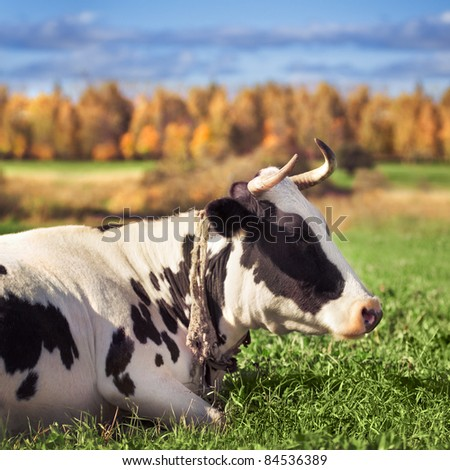 Two spotted cows on a green meadow in the autumn - stock photo