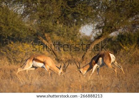 Two springbok rams sparring in the Central Kalahari - stock photo