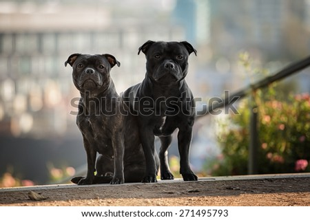 two staffordshire bull terrier dogs - stock photo