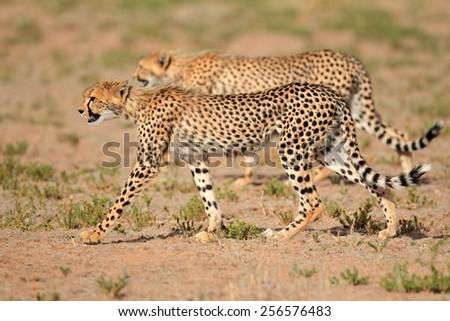 Two stalking cheetahs (Acinonyx jubatus), Kalahari desert, South Africa - stock photo