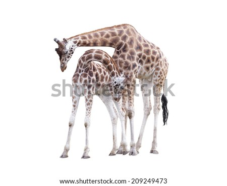Two standing giraffes isolated on white background - stock photo