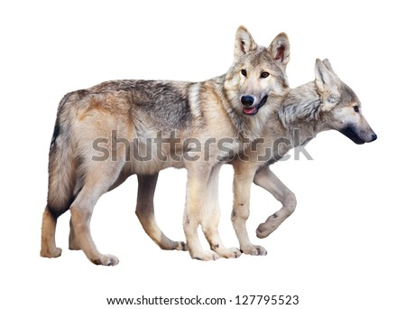 Two standing gray wolves over white background - stock photo