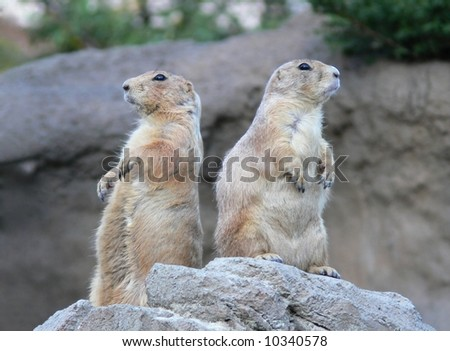 Two standing marmots - stock photo