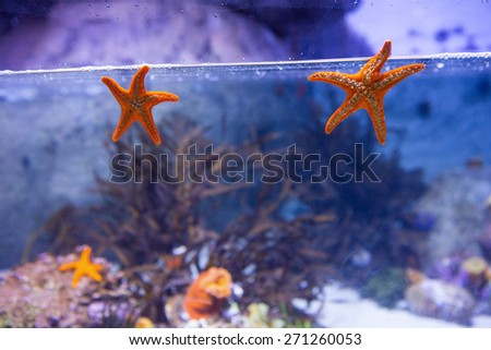 Two starfish floating in a tank with coral at the aquarium - stock photo