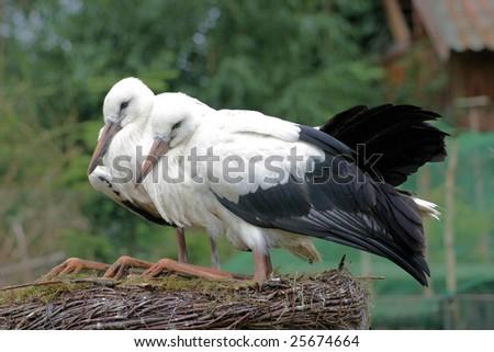 two stork - stock photo