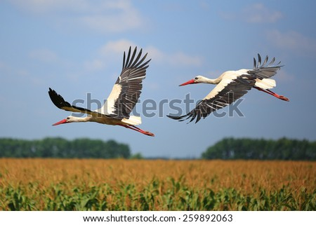 two storks fly over a field - stock photo