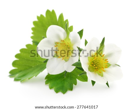 Two strawberry flowers isolated on white background - stock photo