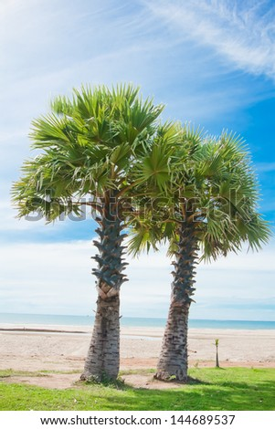 Two sugar palm trees on the beach. - stock photo