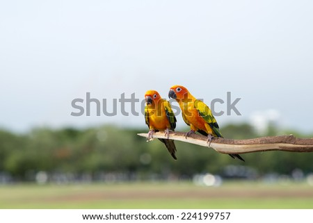 Two sun Conure Parrot Screaming  - stock photo