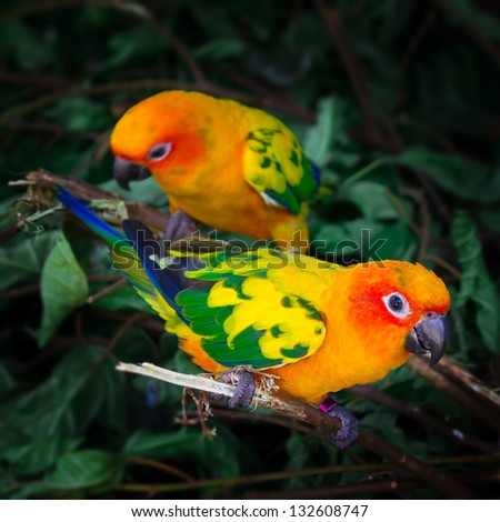 Two sun conures parrots are sitting on a tree branch. Square composition. - stock photo