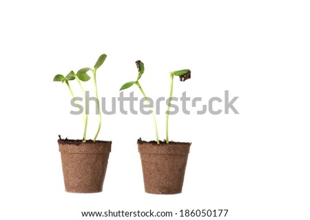 Two Sunflower seedling in a brown pot of peat isolated on white background - stock photo