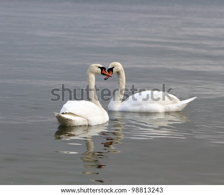 Two swans on the water. Birds represent heart as a wedding and love symbol. - stock photo