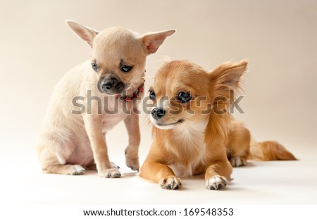 Two sweet chihuahua puppies on neutral background  - stock photo