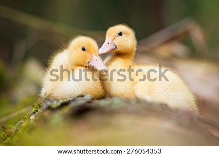 Two sweet little ducklings - stock photo