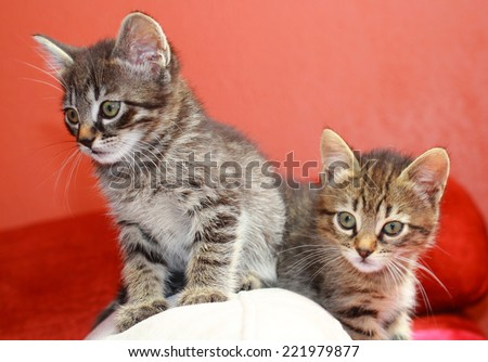 Two tabby kittens playing on a cushion with a curious look. - stock photo