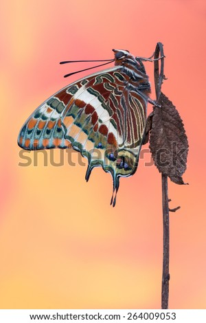 Two Tailed Pasha - Charaxes jasius The biggest european butterfly in awesome colours - stock photo