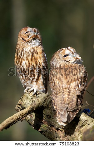 Two Tawny Owl's looking up in the woods - stock photo