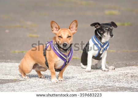 two terrier dogs in body harnesses - stock photo