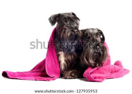 two terrier dogs wrapped in a towel - stock photo