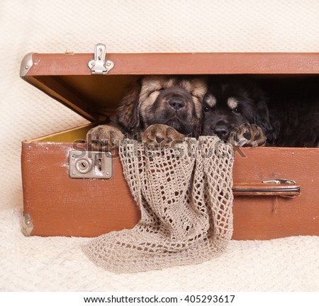 Two Tibetan mastiff puppies sleeping in a semi-closed old suitcase on a light background - stock photo