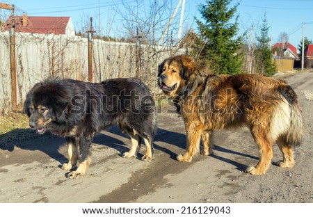 Two Tibetan Mastiff stands on a dirt road on a sunny day - stock photo