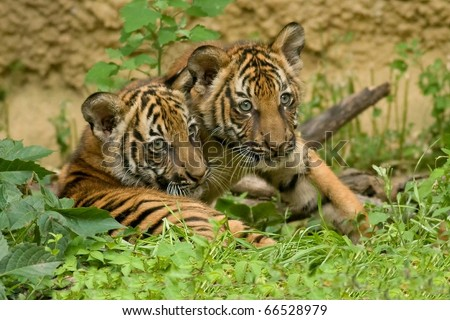 Two Tiger Cubs - stock photo