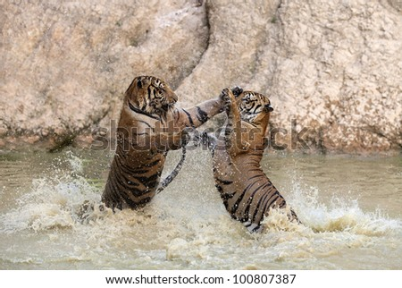 two tigers are playing in the water - stock photo