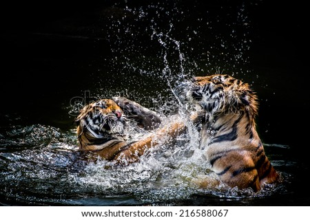 Two Tigers fighting in Water - stock photo