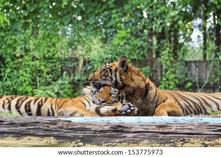 Two  tigers sleeping - stock photo