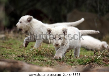 Two tiny young white lion cubs on the move. - stock photo