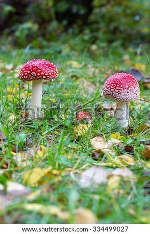 two toadstool on a fall landscape floor - stock photo
