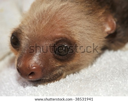 two toed sloth baby, cahuita, costa rica, central america - stock photo