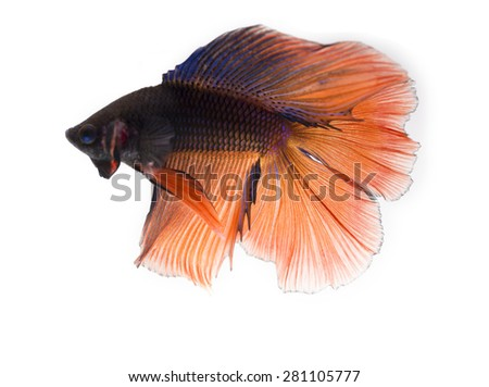 two tone color siamese fighting fish , betta isolated on white background. - stock photo