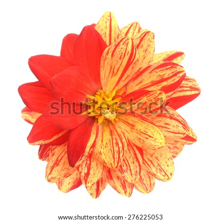 two tone red and yellow dahlia flower isolated on white background - stock photo