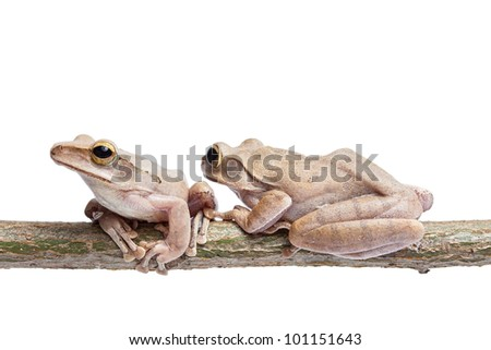 Two, tree frog on dry branch - stock photo