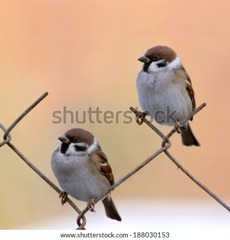 two tree sparrows perched on fence - stock photo