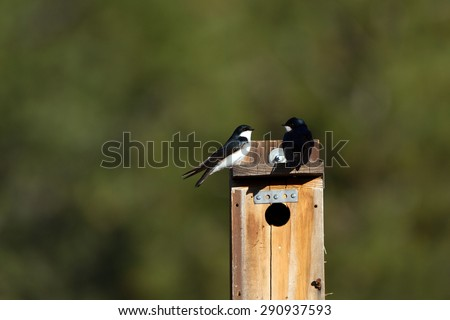 Two Tree Swallows atop a wooden nest box - stock photo