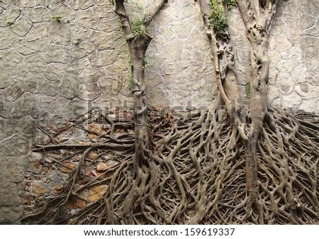 Two tree with tangled roots climbing on a rock wall with interesting pattern - stock photo